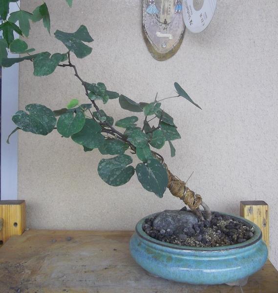 cercis-bonsai