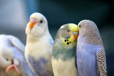 Can female budgies learn talking