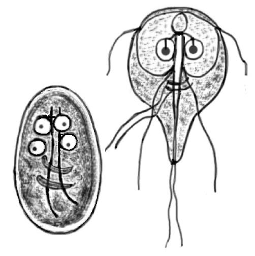 parasitophilia  here u0026 39 s lookin u0026 39  at you  giardia
