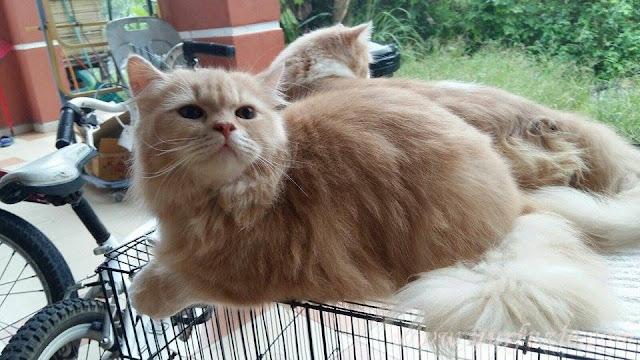 Kucing Untuk Dijual (Manjung & Ipoh)
