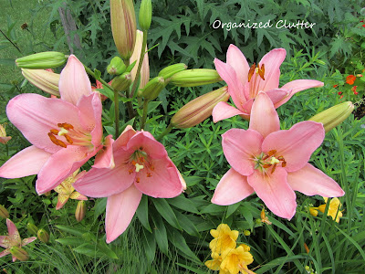 Cottage Garden - Asiatic Lilies
