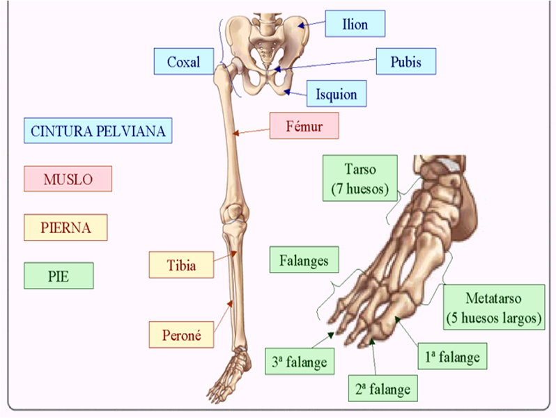 Biología Humana: ESQUELETO APENDICULAR: CINTURA PÉLVICA Y EXTREMIDAD ...