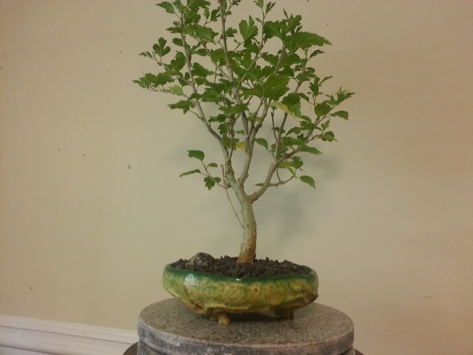 Bodhisattva Bonsai Rose Of Sharon Bonsai Getting Used To New Pot