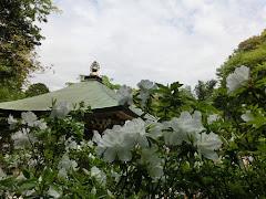 安国論寺のツツジ