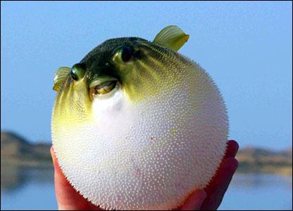 Puffer-fish.jpg