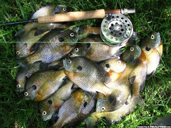 Choices colorado fishing forum for Bluegill fly fishing