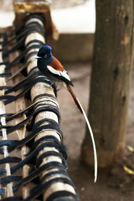 African Paradise-Flycatcher Ethiopia