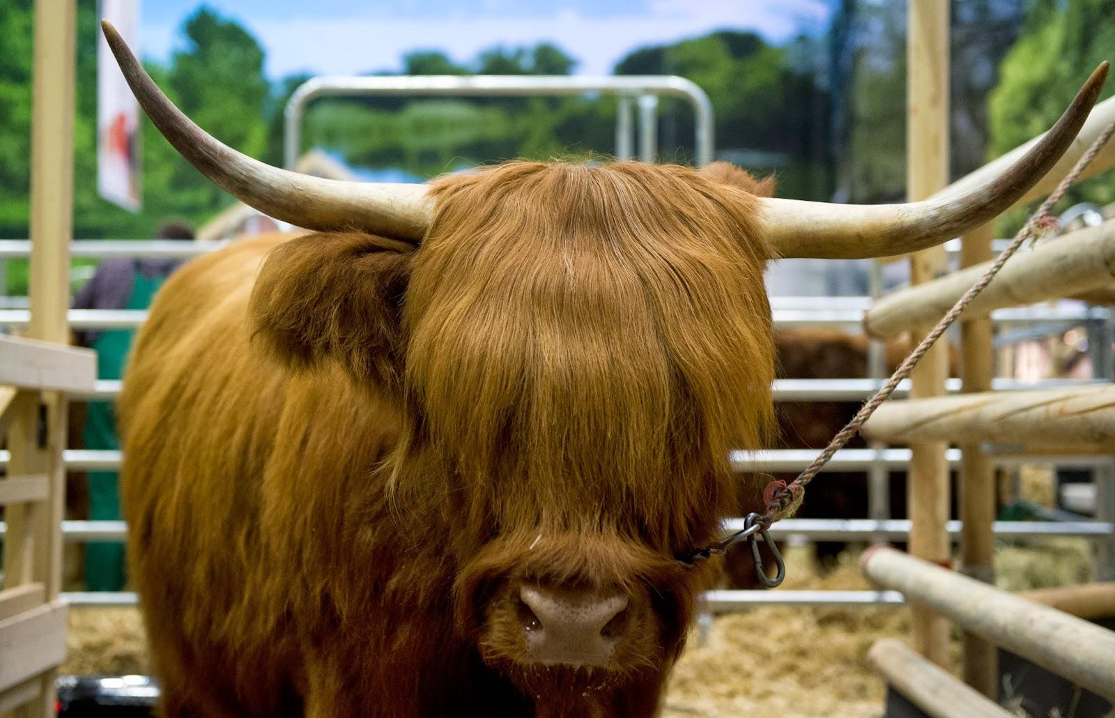 International, Green Week, Berlin, Agriculture Fair, 2014, Animals, Hall, Cow, Contest, Show, Gruene Woche, Green Week, Woman, Stall, Mecklenburg-Vorpommern, Fleckvieh, Farm, Enclosure, Business, Economy, Agriculture,
