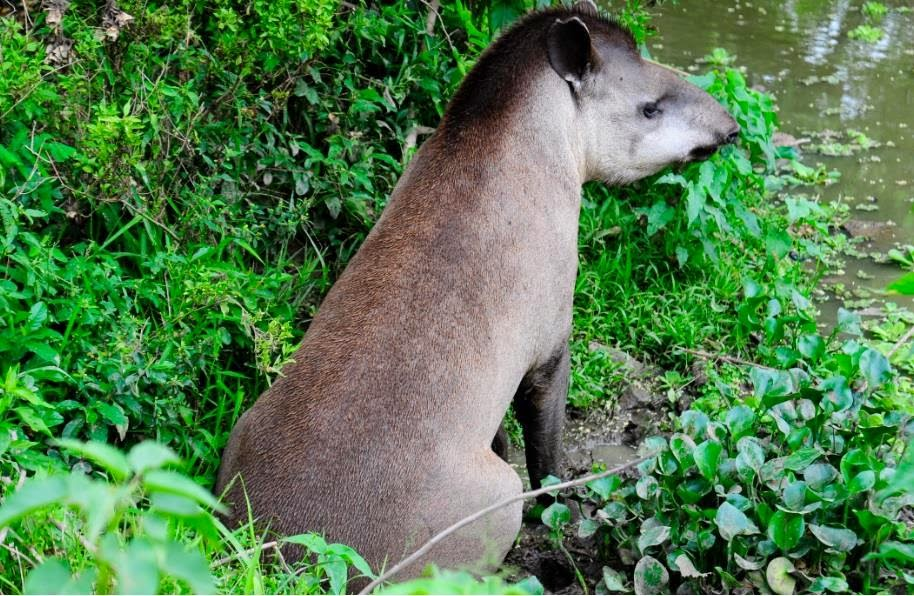 Tapir - El jardinero de los bosques paraguayos | Parques Nacionales ...