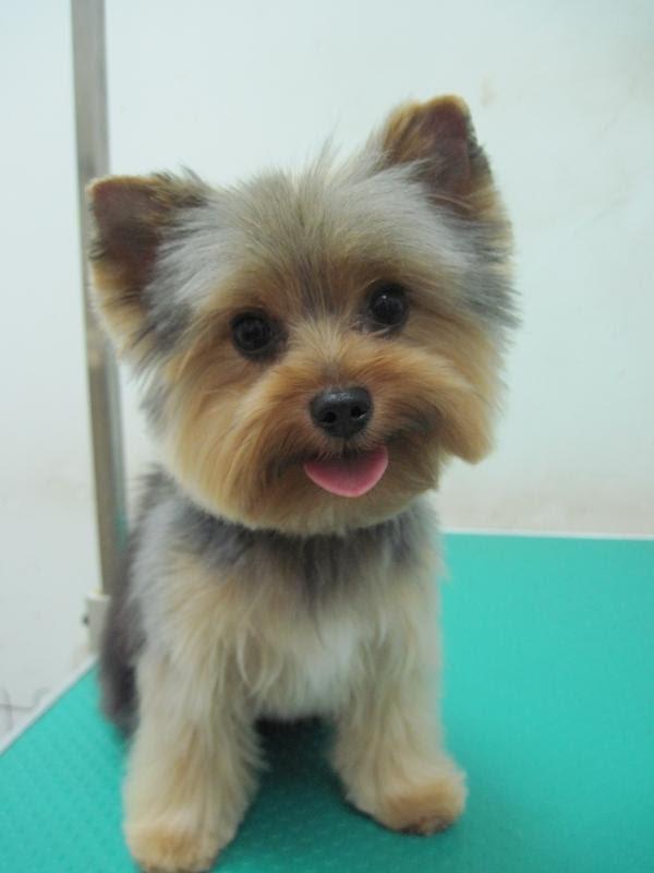 Corte De Pelo Yorkshire Terrier - Corte veraniego para Yorkshire Terrier YouTube