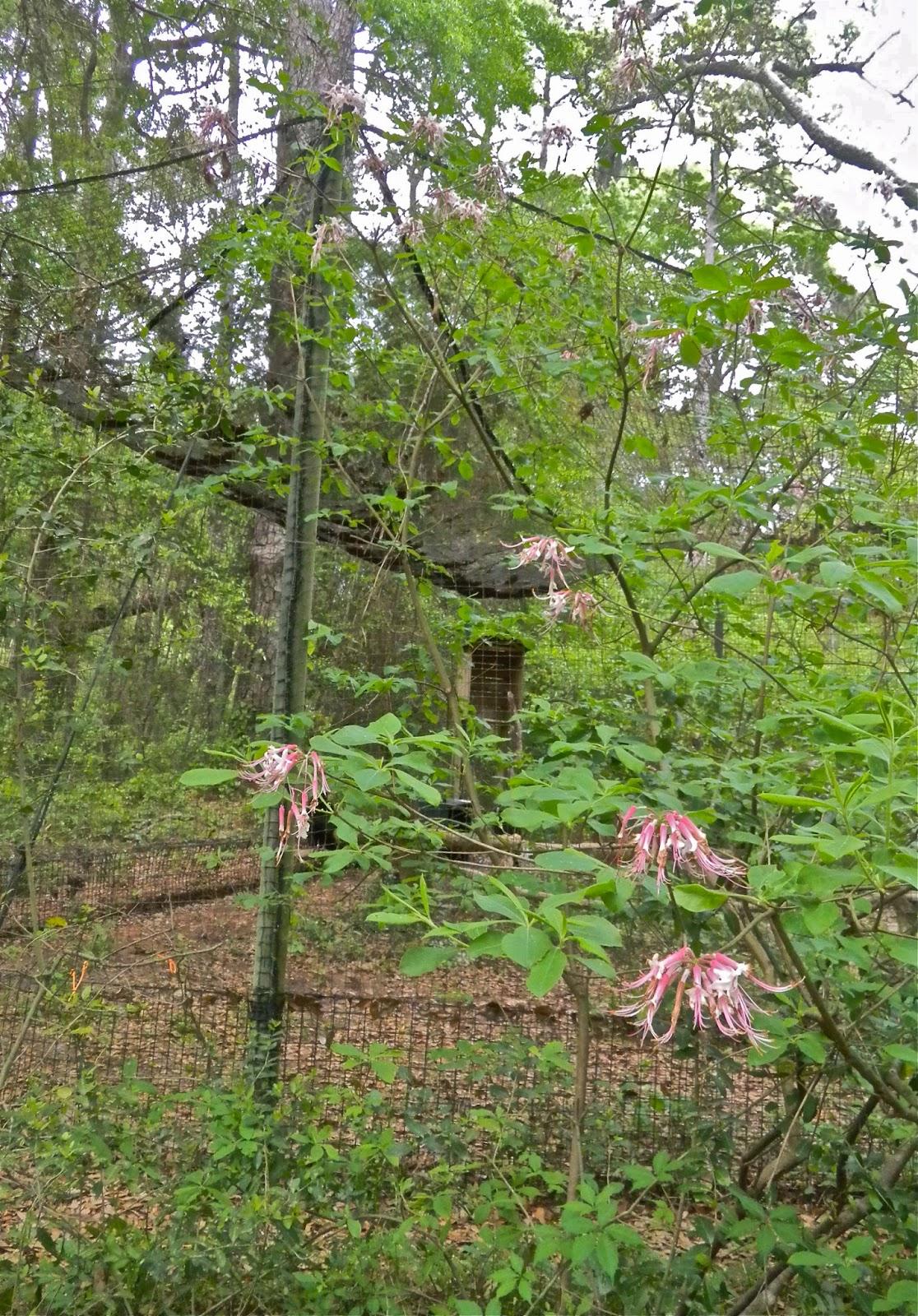 Native azalea at Brookgreen Gardens