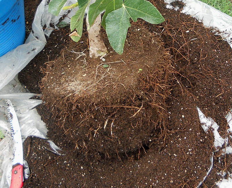 Brown Turkey Fig Tree Care http://akitchengardeninkiheimaui.blogspot.com/2011/10/growing-potted-fig-trees-in-kihei.html