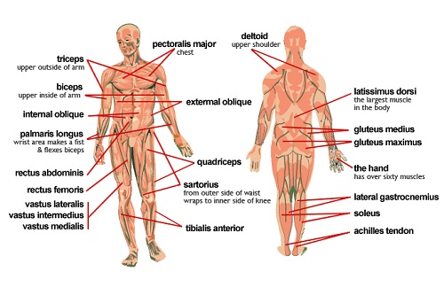 Muscle Diagram, Muscle Diagram photos, Human Muscle Diagram, Muscle Memory
