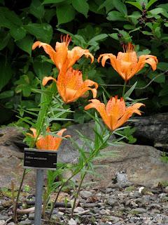 Lilium maculatum