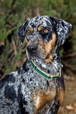 Extreme Dog Breeds Catahoula Leopard Dog