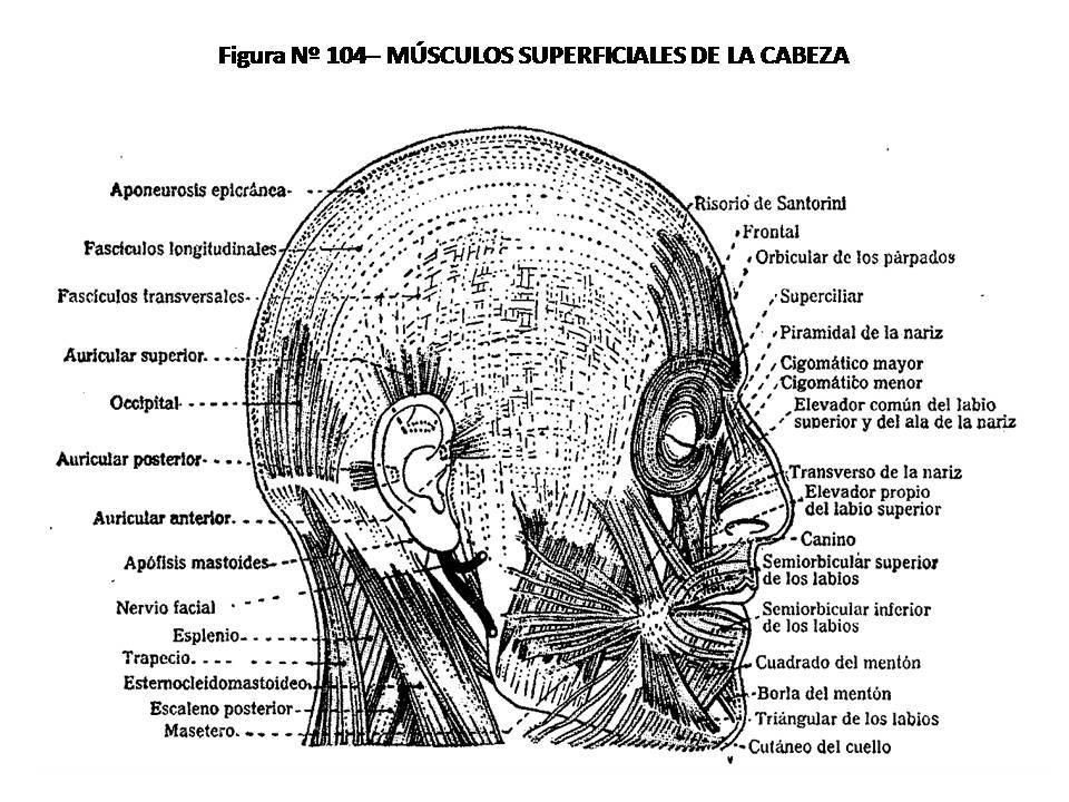 ATLAS DE ANATOMÍA HUMANA: 104. MÚSCULOS SUPERFICIALES DE LA CABEZA.