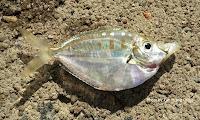 Deep Pugnose Ponyfish