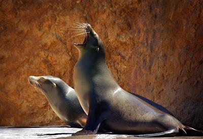 Leones Marinos o Sea lions