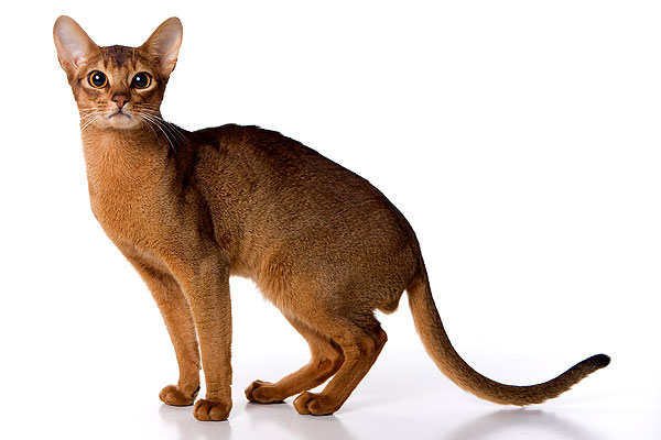 O Abyssinians Abyssinians   The Life...
