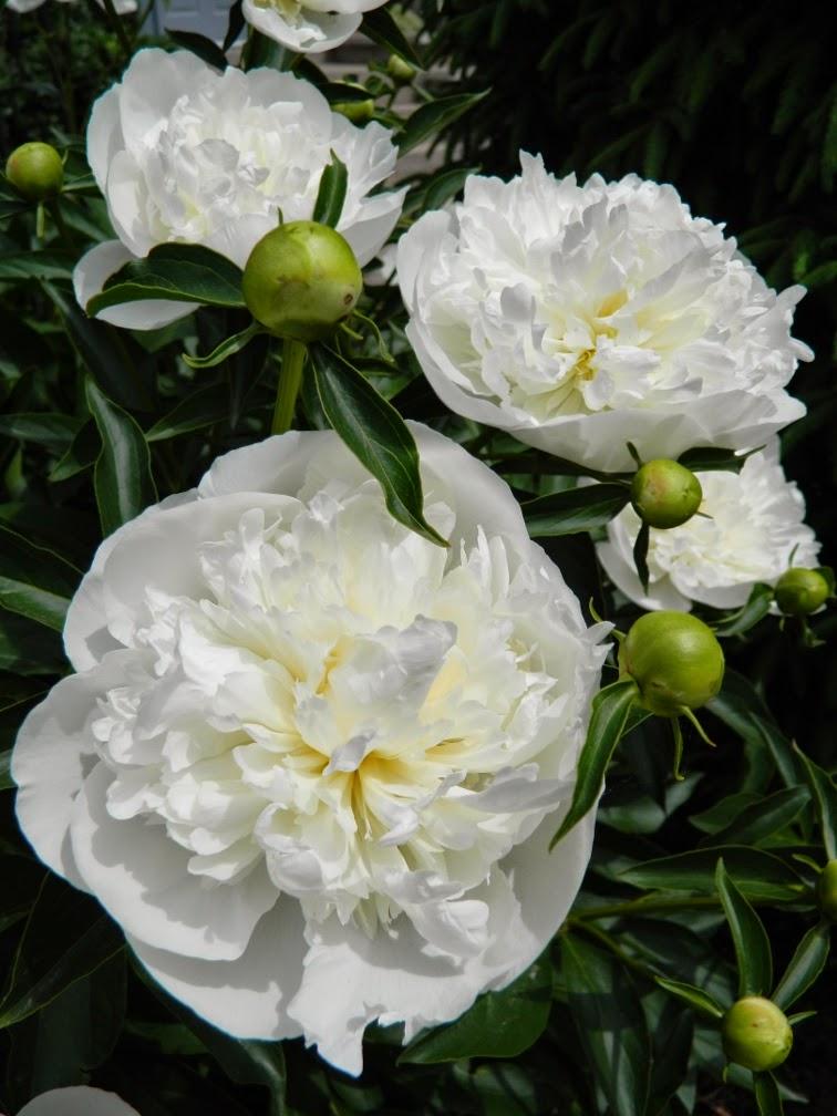 Duchesse de Nemours peony Paeonia lactiflora by garden muses-not another Toronto gardening blog