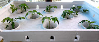 Tomatoes in SNAP Hydroponics Grow Box