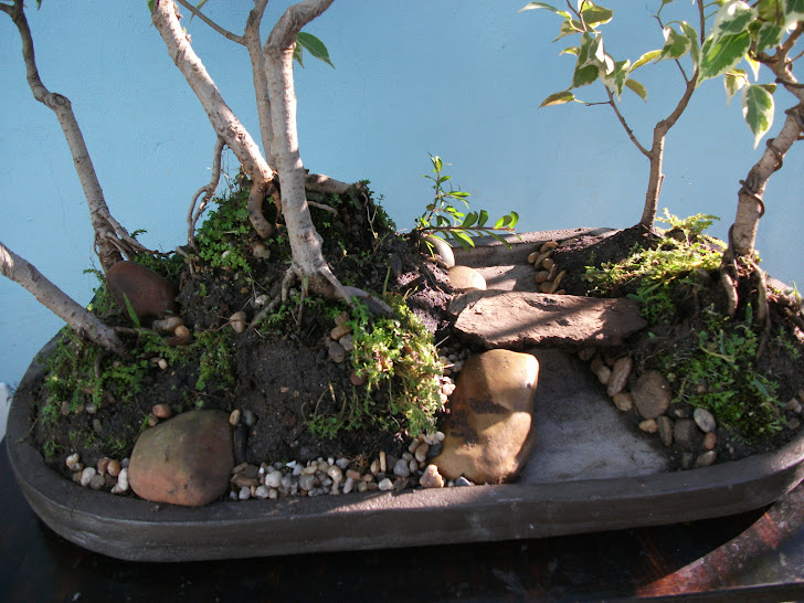 Floresta de ficus variegata