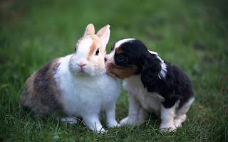 http://beautifulwallpapersfordesktop.blogspot.com/2013/04/beautiful-rabbit-hd-wallpapers.html
