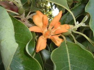 Bunga Bungong Jeumpa