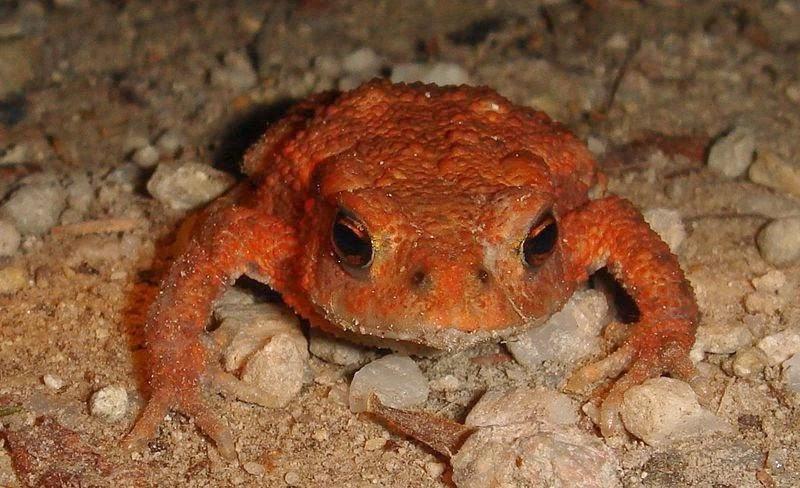 Reddish frog