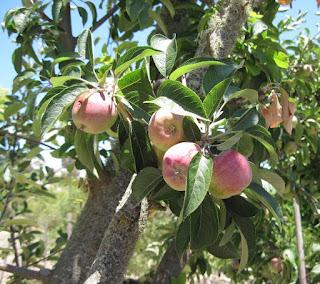 Our Apples on the Tree, 2014, © B. Radisavljevic