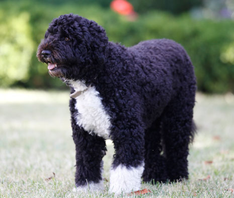 Breed Of President Obama Dog