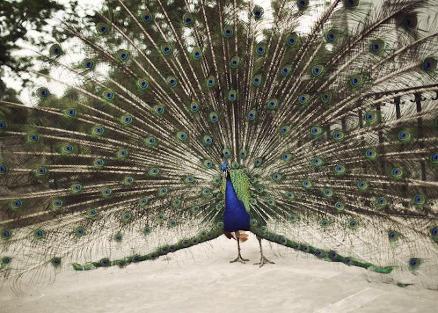 bird _ peacock