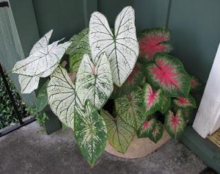 jenis jenis tanaman hias