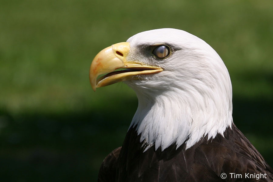 Eagle bird images - photo#23