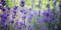 Khasiat Bunga Lavender