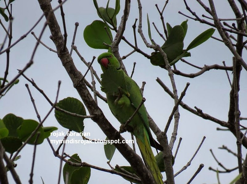 Rose-ringed Parakeet in Pasir Ris Park