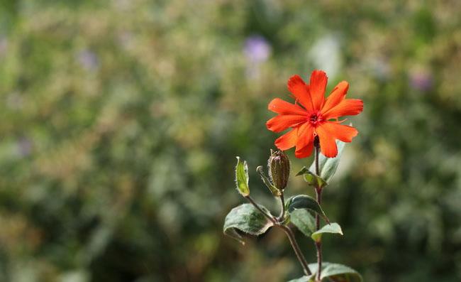 Lychnis Arkwrightii Flowers