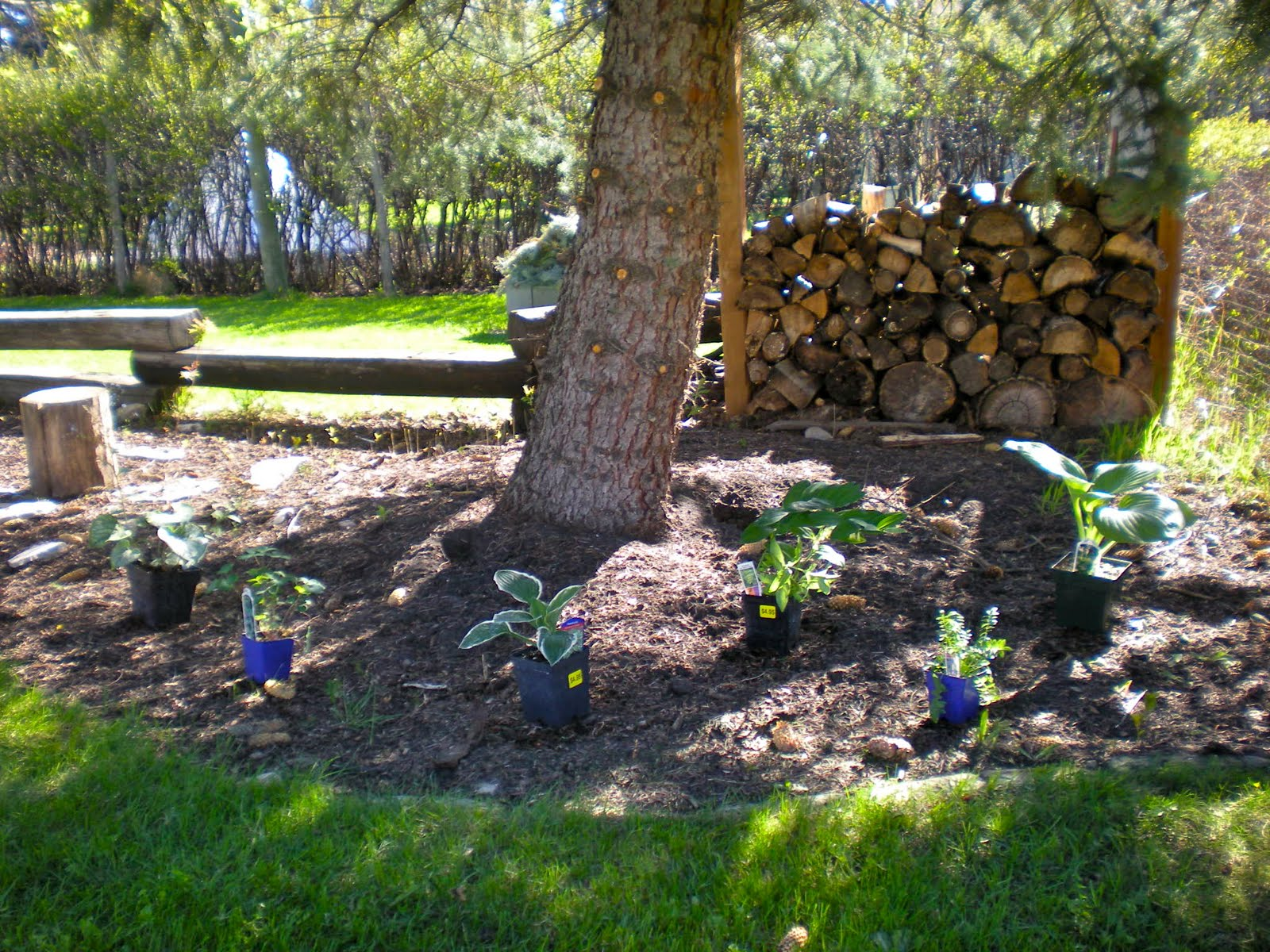 Planting Under Pine Trees Garden : Plants that grow under pine trees pictures to pin on daddy