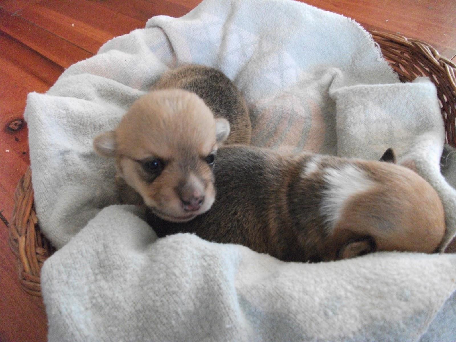 Homeschool and Homestead AKC Pembroke Welsh Corgi puppies for