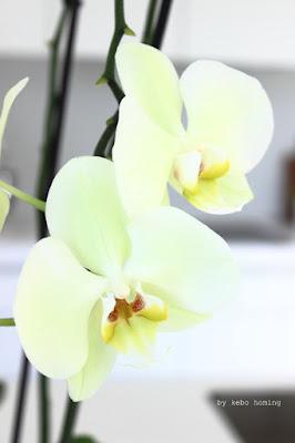 Weiße Orchidee hier bei kebo homing, dem Südtiroler Food- und Lifestyleblog
