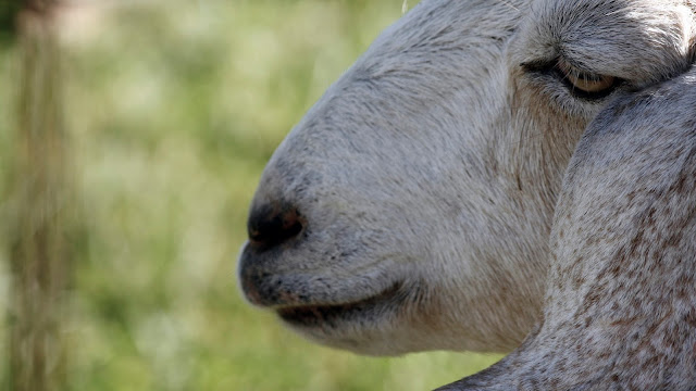Close up of a goat.