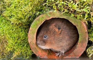 water vole in British waterway