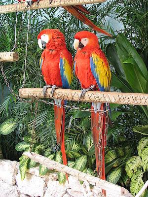 foto burung Scarlet Macau