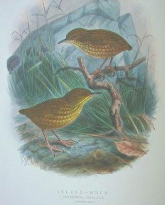 Reyezuelo de la isla Stephen Traversia lyalli