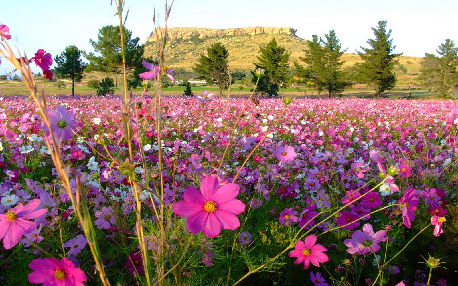 Campo   Flores Em Tons Rosa Imagens Imagem De Fundo Wallpaper Para