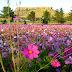 Imagem de Fundo - Campo com flores em tons rosa
