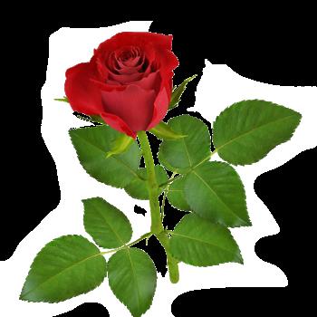 Rosa vermelha 1 png