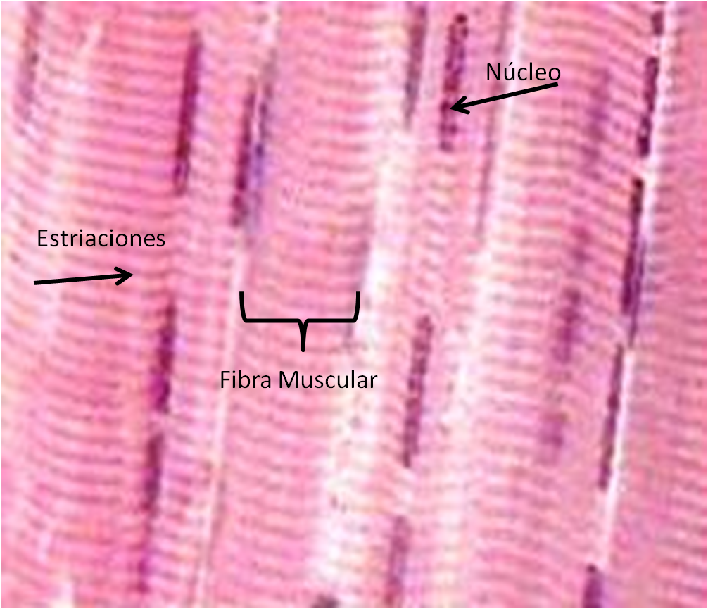 TEJIDO MUSCULAR Y CARTILAGINOSO