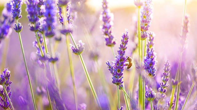 FLower Lavender
