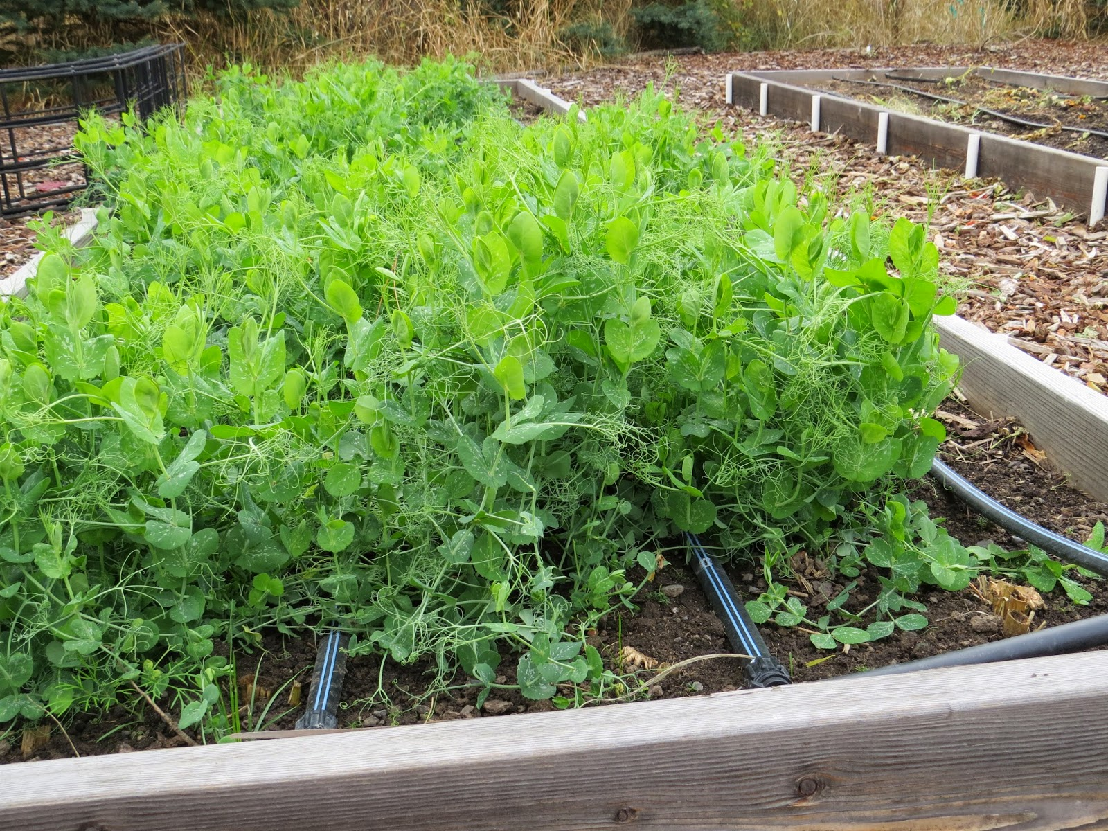 Cover crops follow up susan 39 s in the garden - Cover crops for vegetable gardens ...